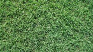 419tifbermudagrass